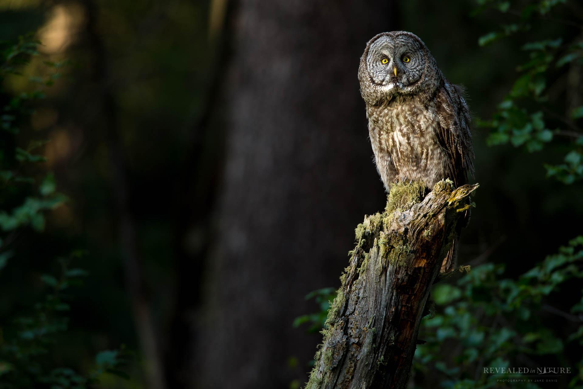 Great Grey Owl-Grand Teton