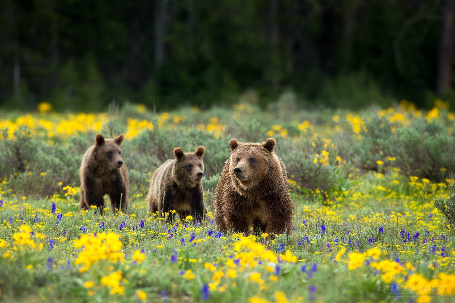 Yellowstone Grizzly-399
