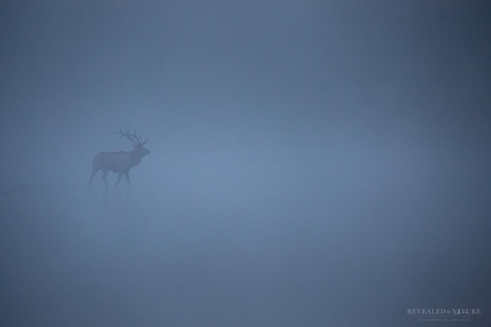 Bull Elk in Snake River