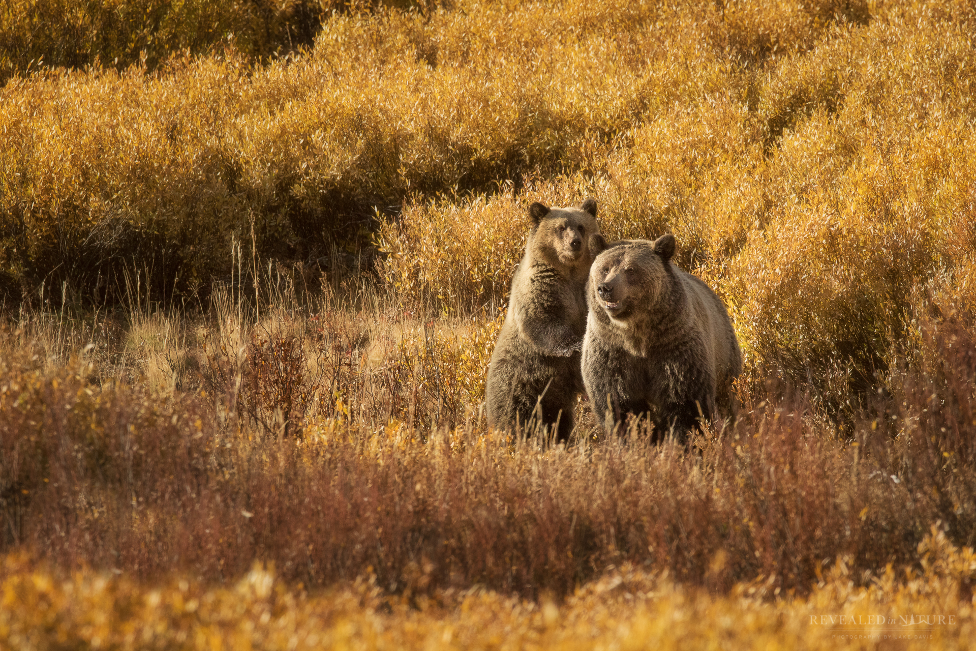 Grizzlies in Autumn