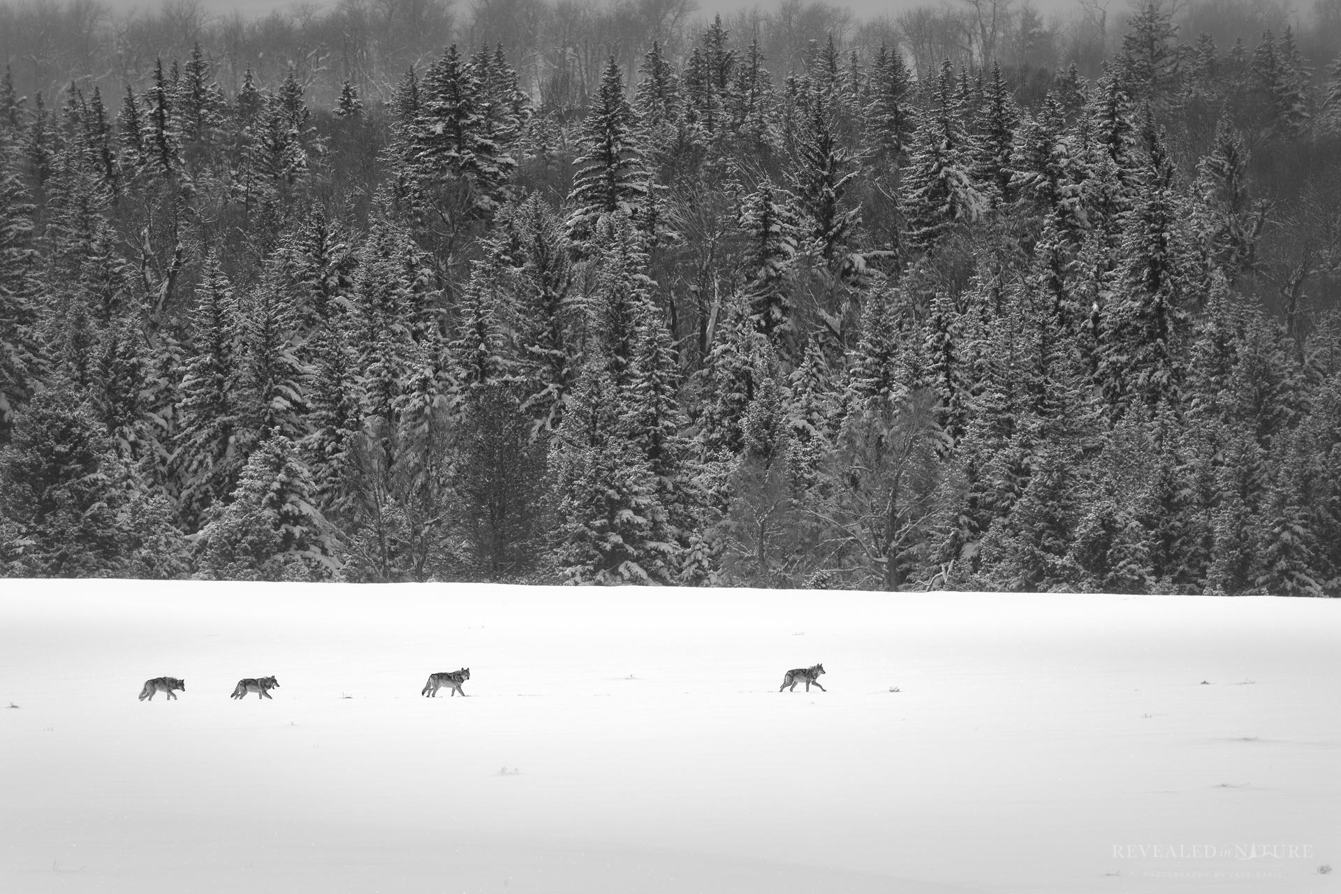 Snake River Hunt - Wolf Pack