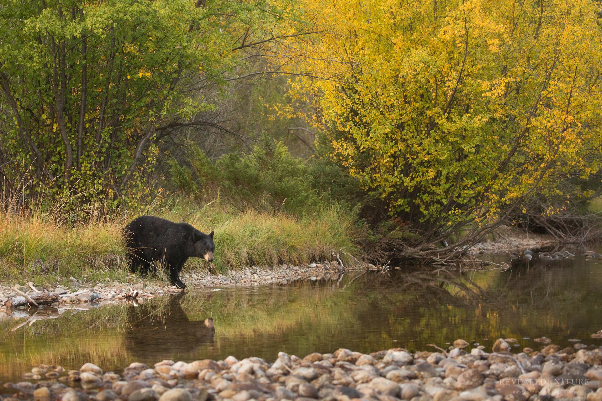 black bear LSR Color.jpg