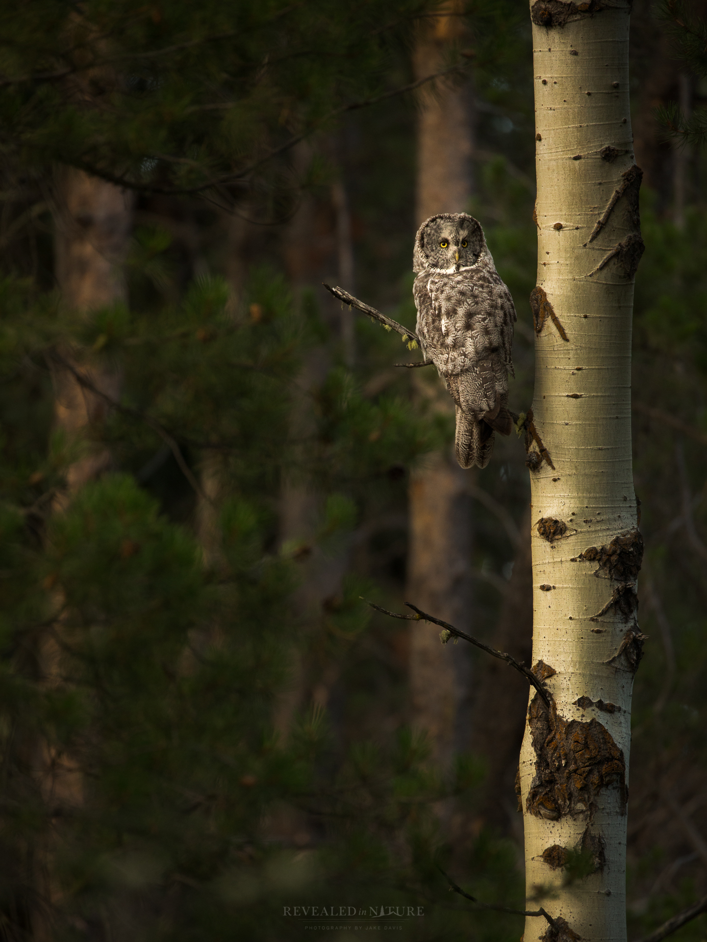 Great Grey Owl in Wyoming