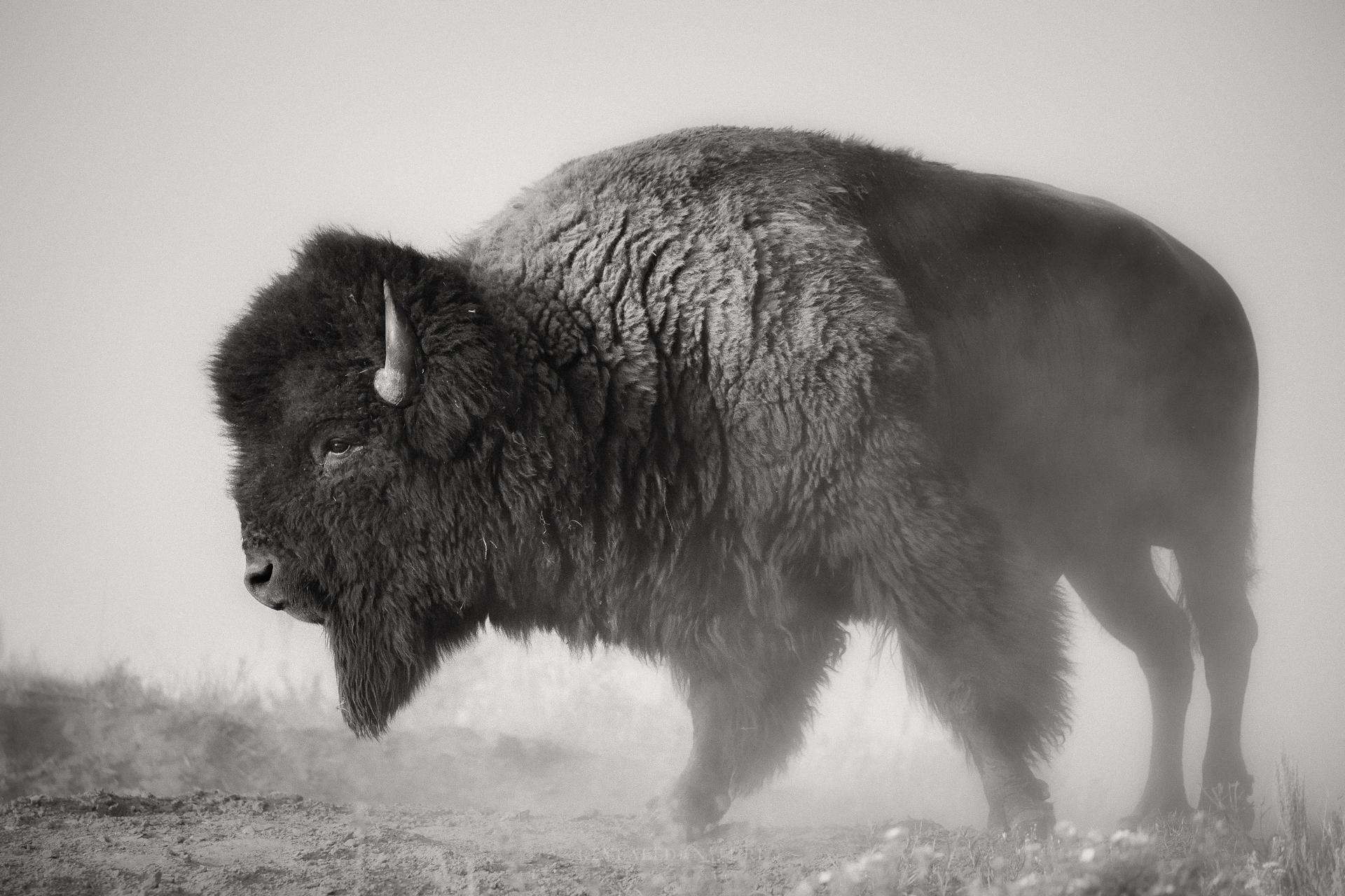 B&W Bison in Dust.jpg