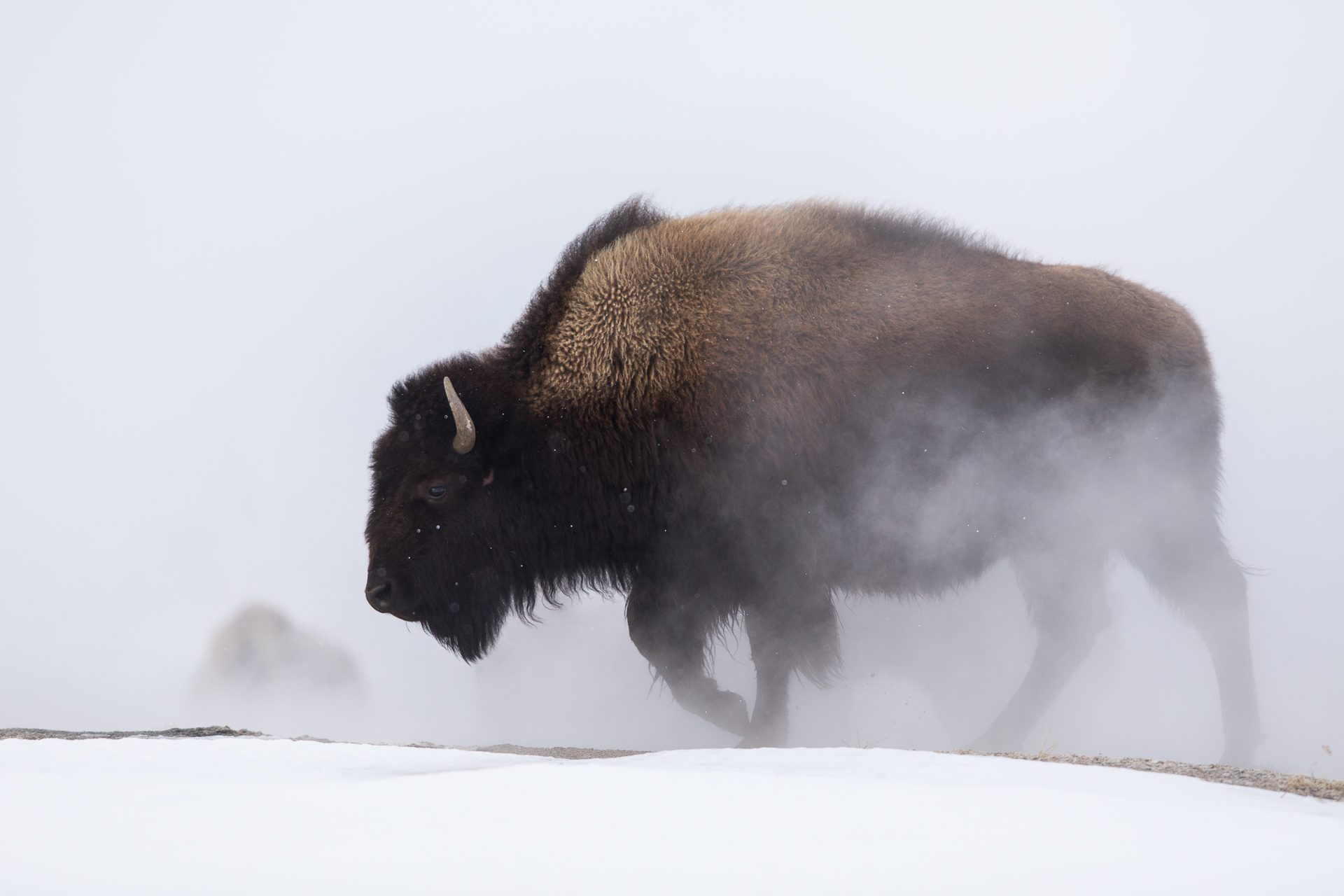 Bison in thermal steam