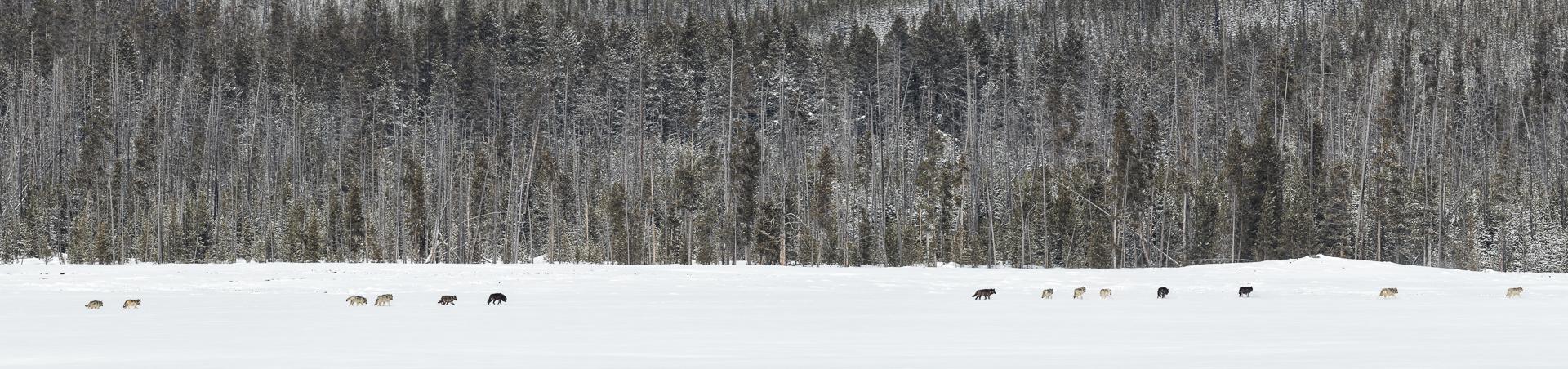 Wapiti Wolves in Yellowstone