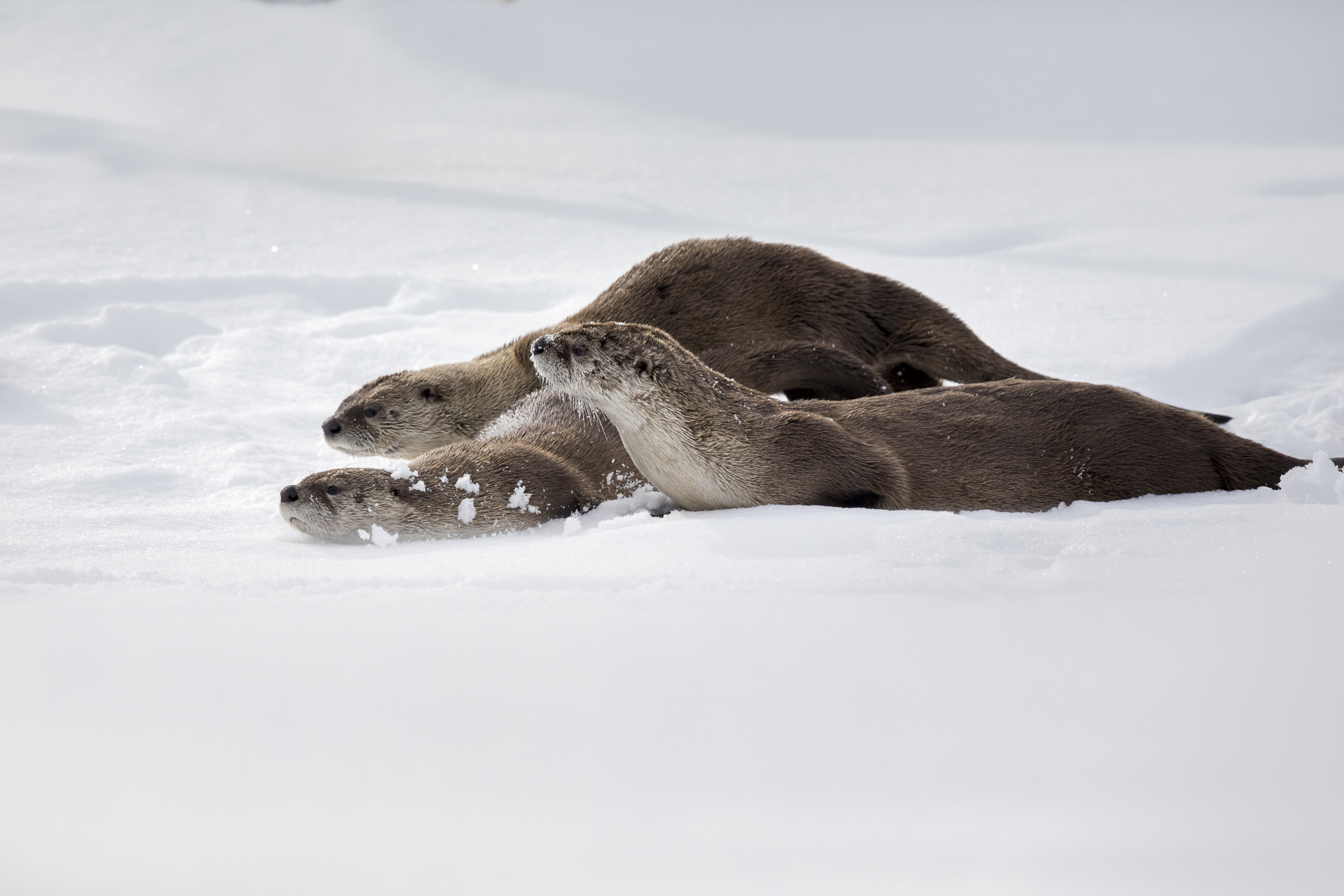 River Otters Sliding