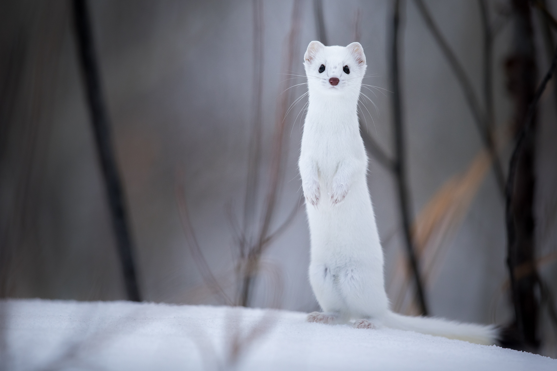Ermine in Snow