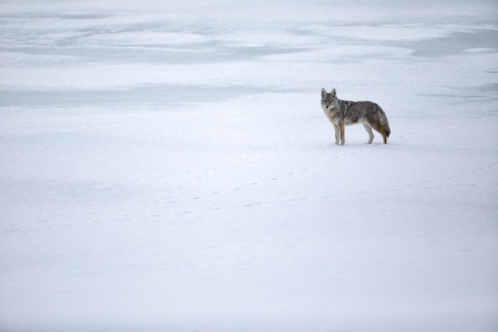 Coyote in Grand Teton Park