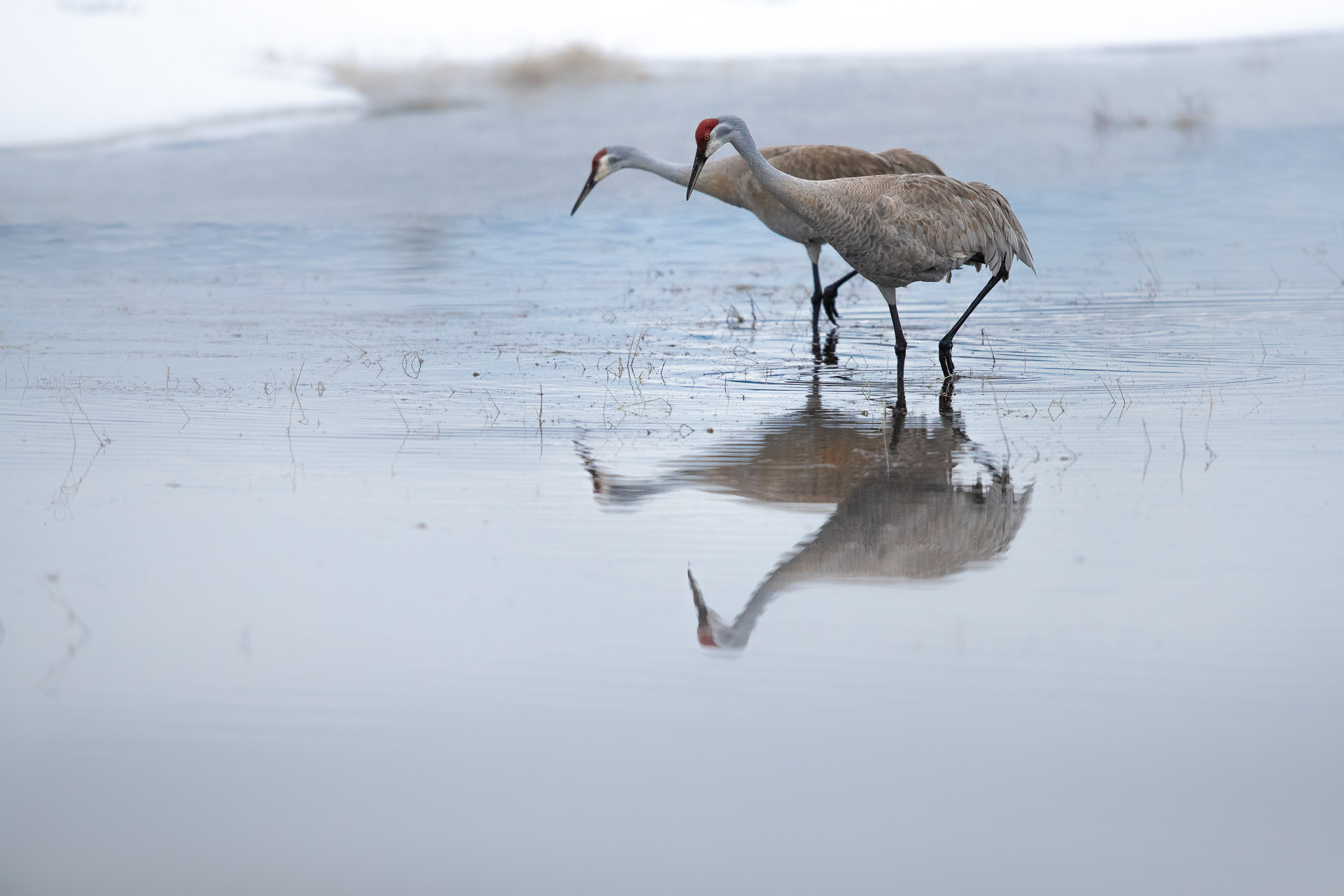 Pair of Sandhill Cranes