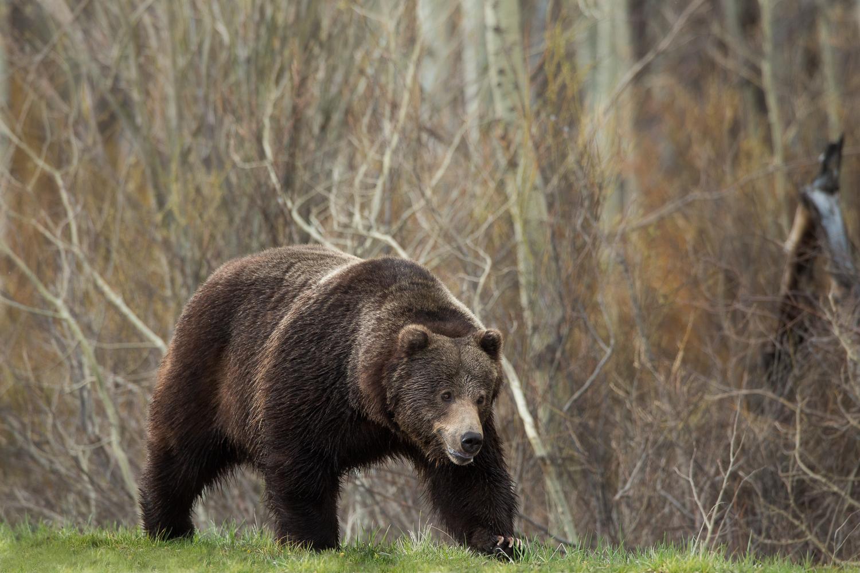 Bears-30.jpg