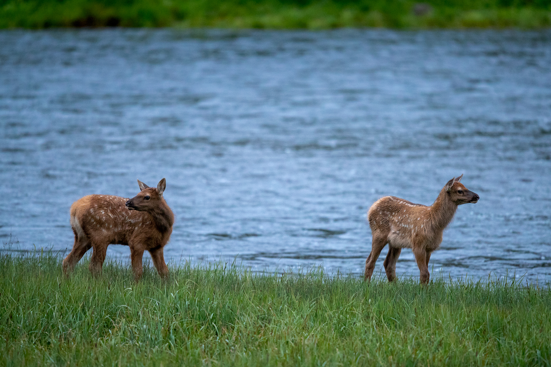 Two newborn elk calves prepare to cross the Madison river to join their mothers.