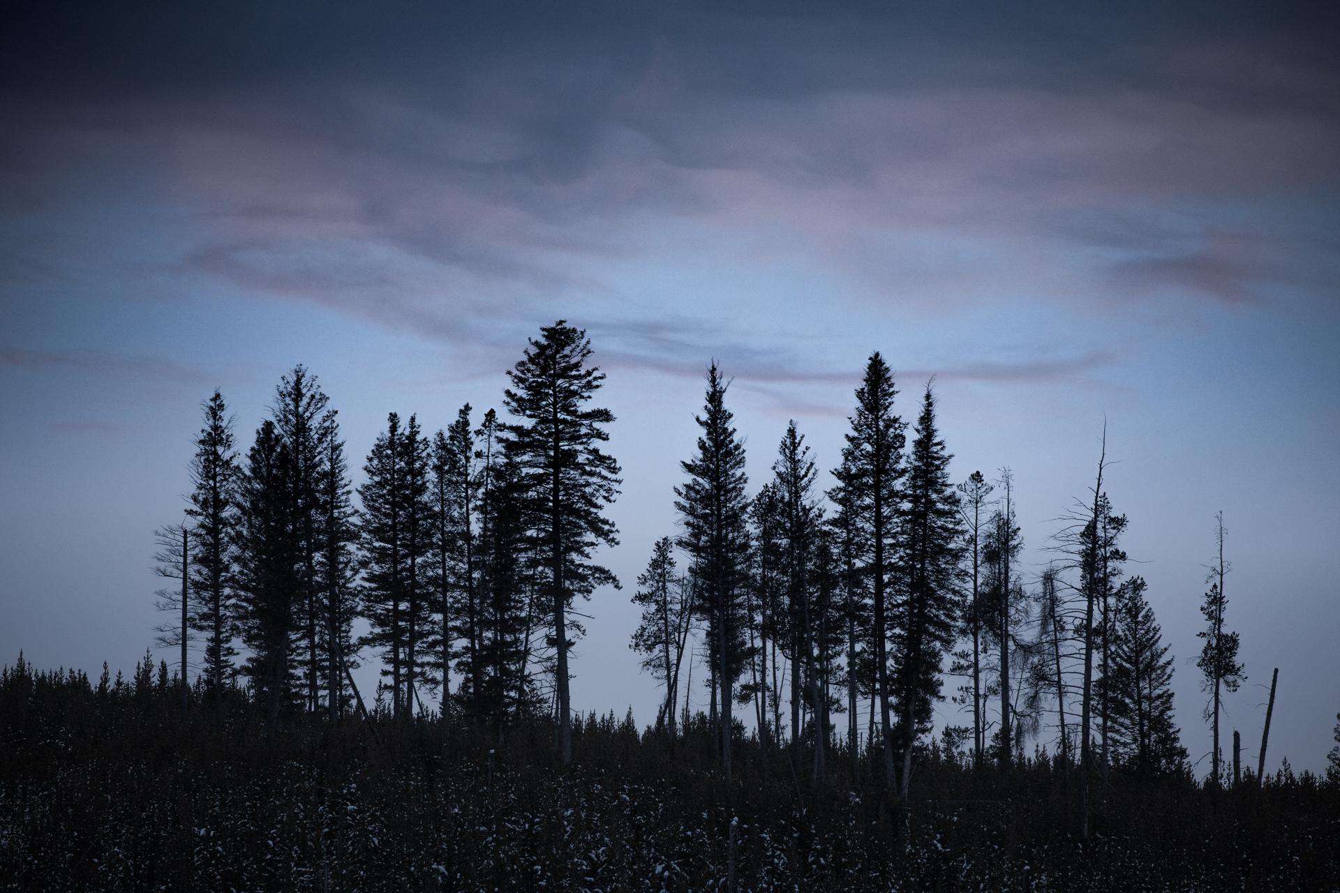 Lodgepole Pine