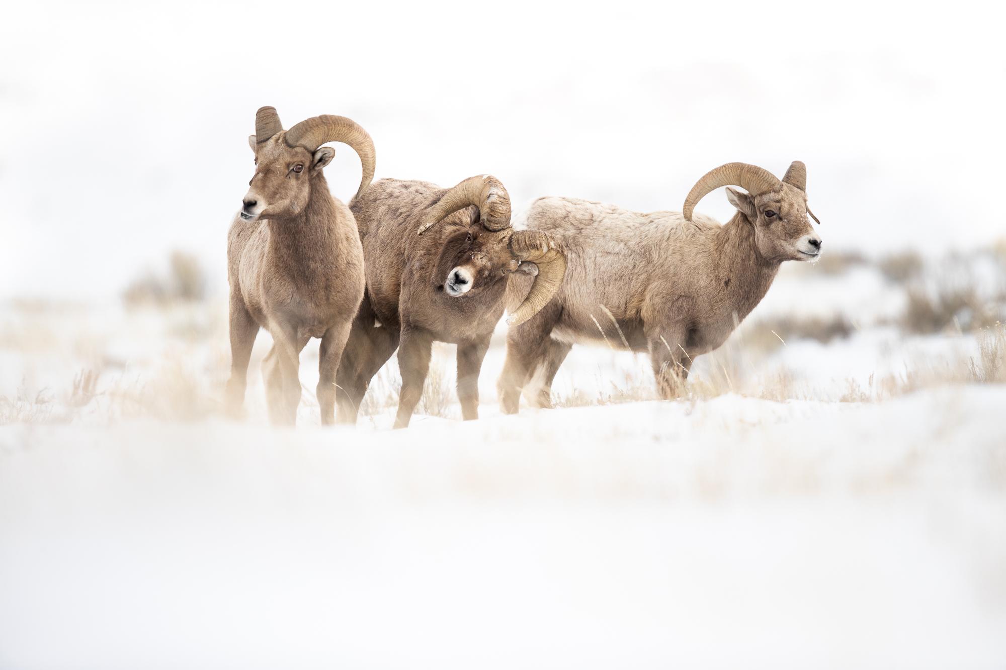 BighornRams