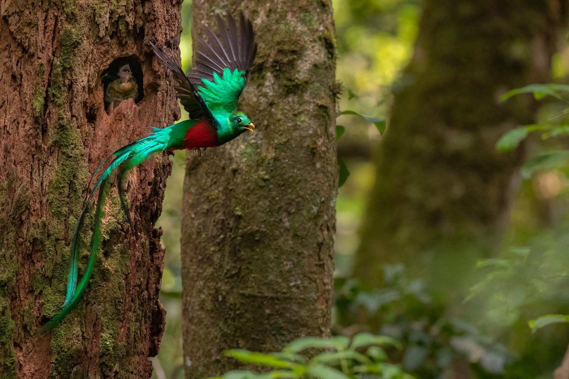 Quetzal Nest