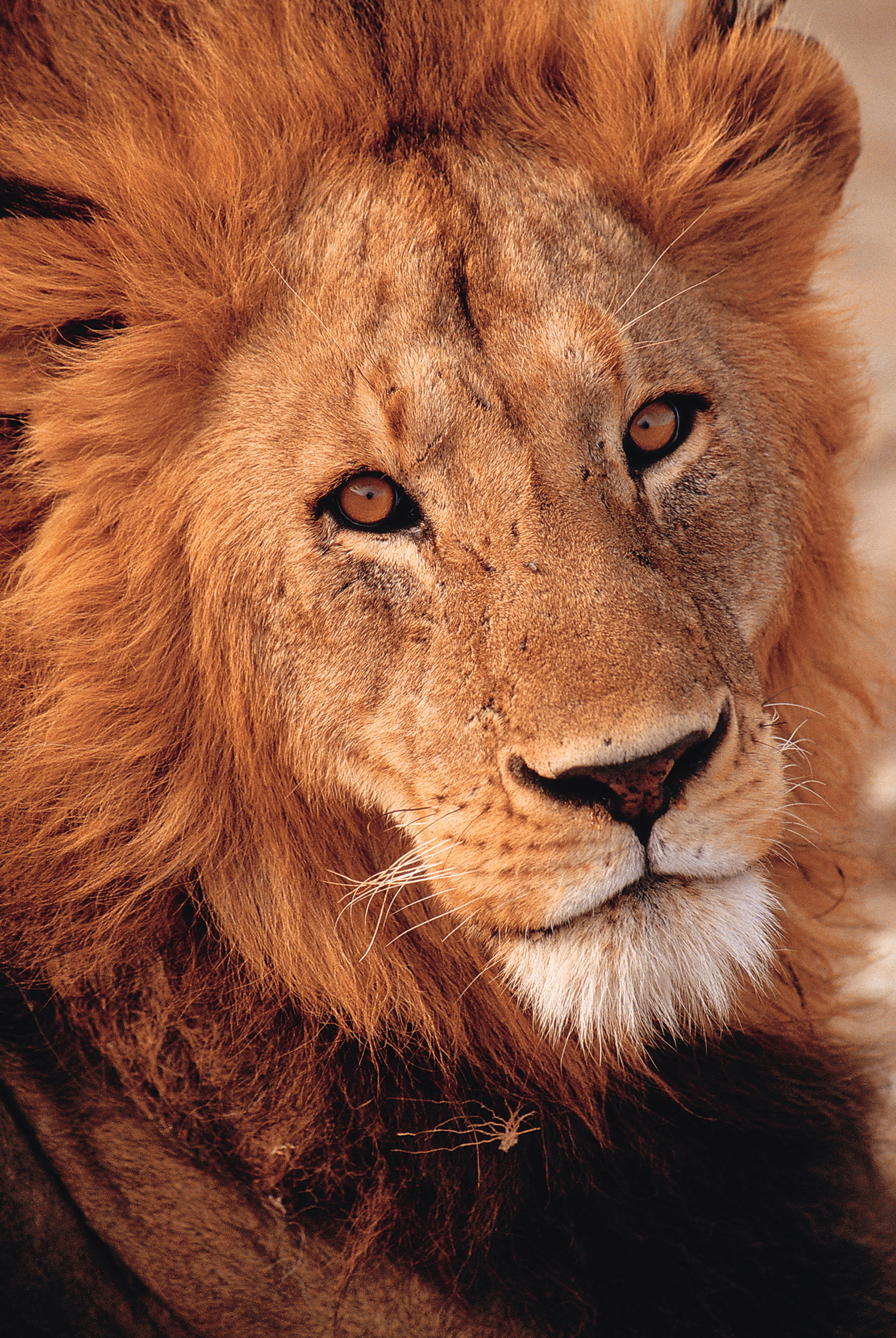 Mark the Evangelist's symbol is a winged lion – a figure of courage and monarchy. The lion also represents Jesus' resurrection and Christ as king.  Read the Introduction to our Study of Mark's Gospel.