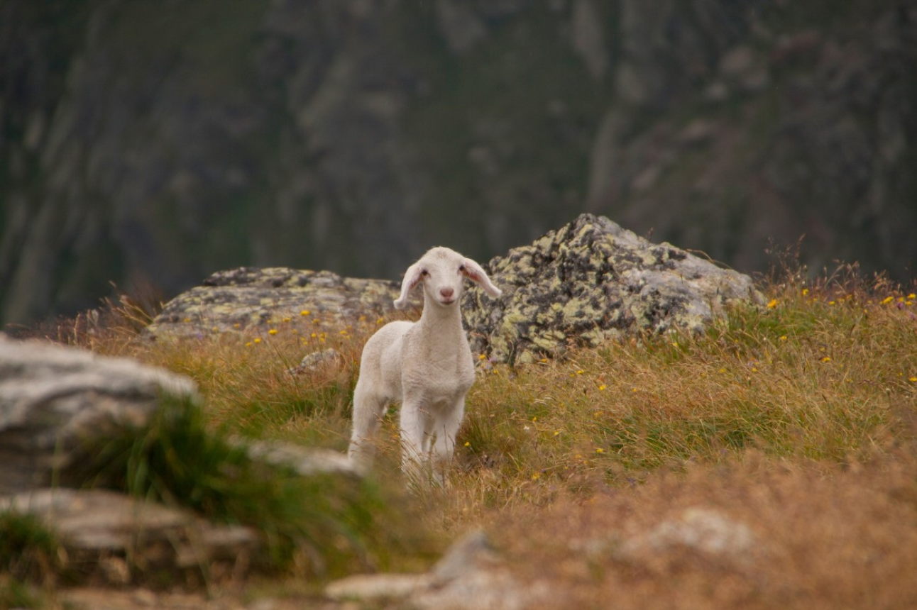 Sheep in the wilderness.