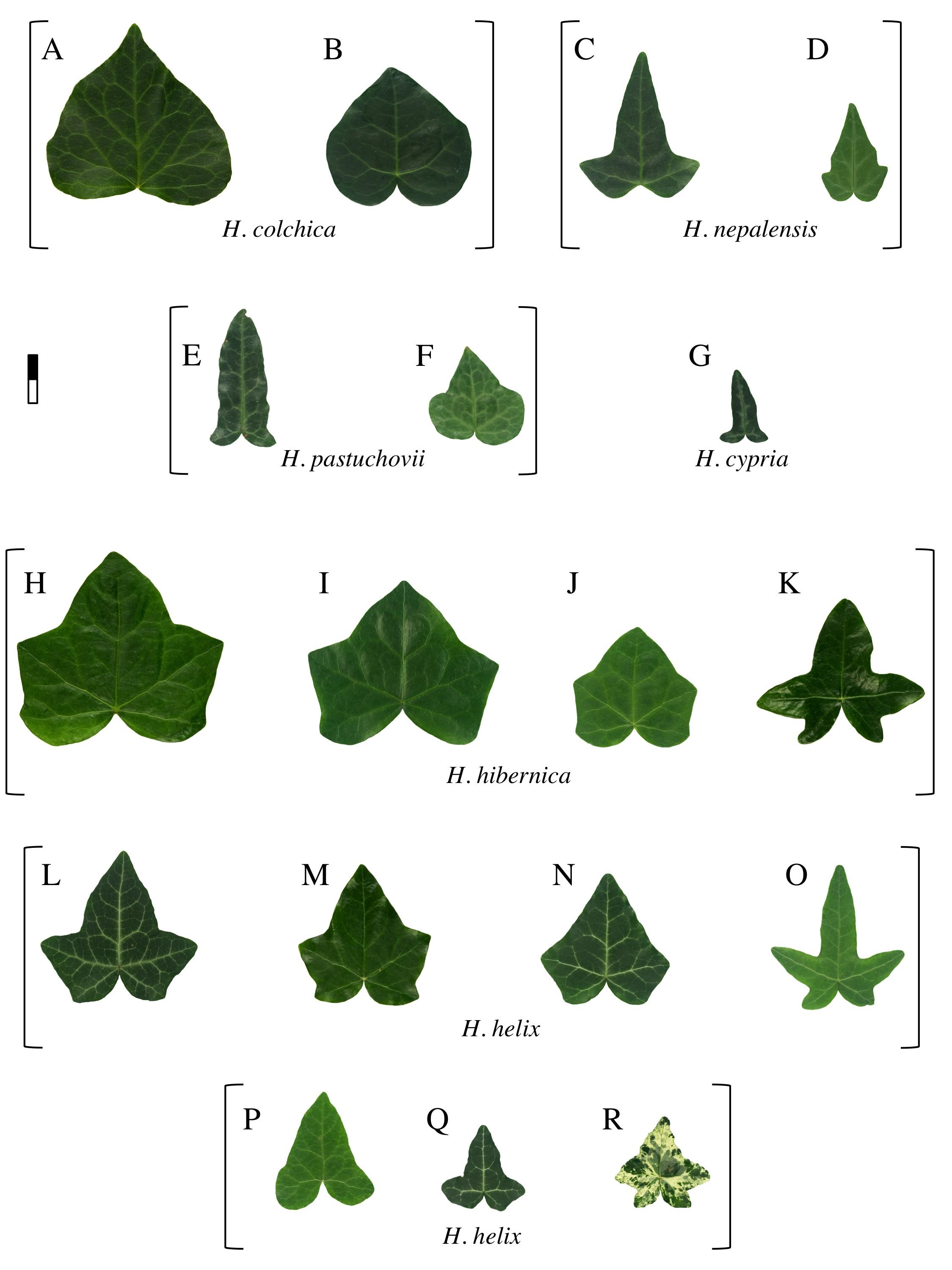 Ivy leaf morphology, plate 2