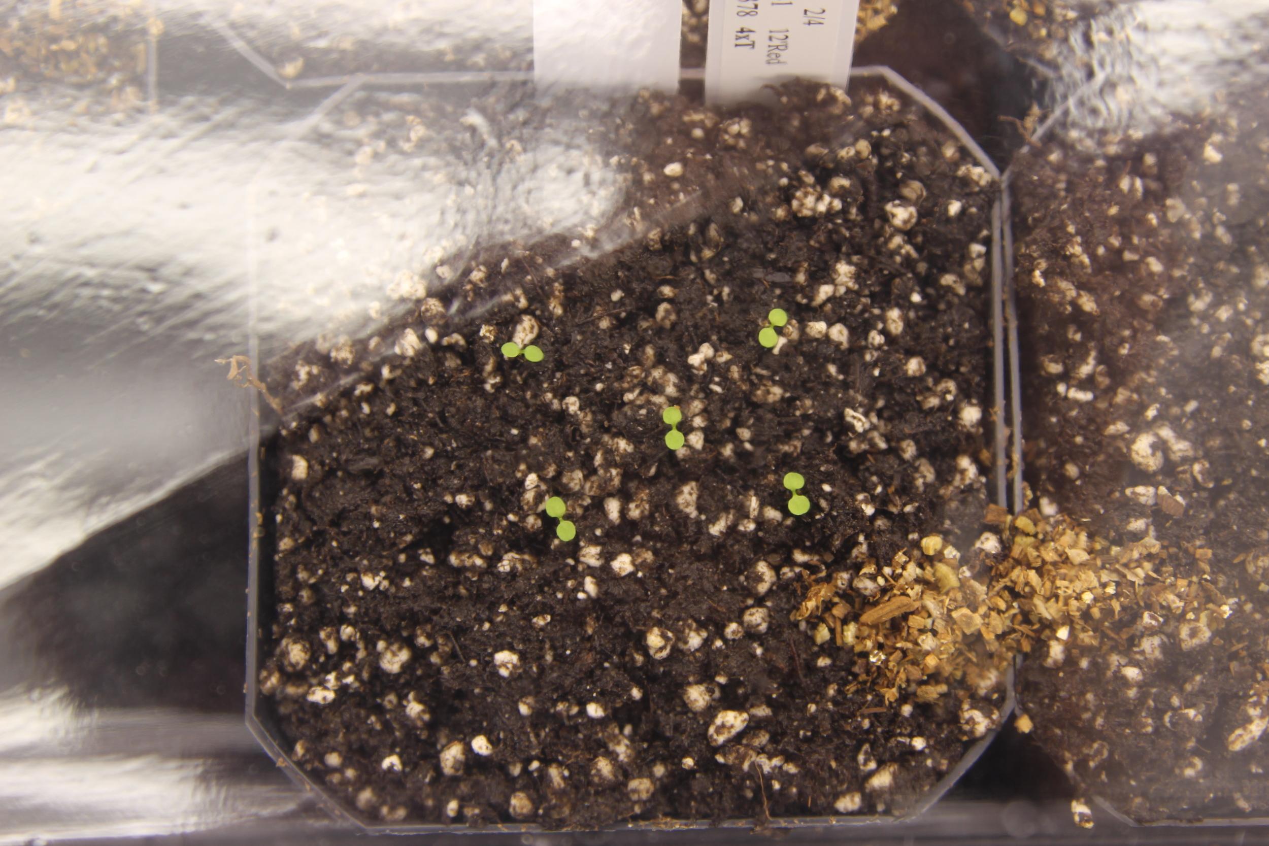 Arabidopsis seedlings