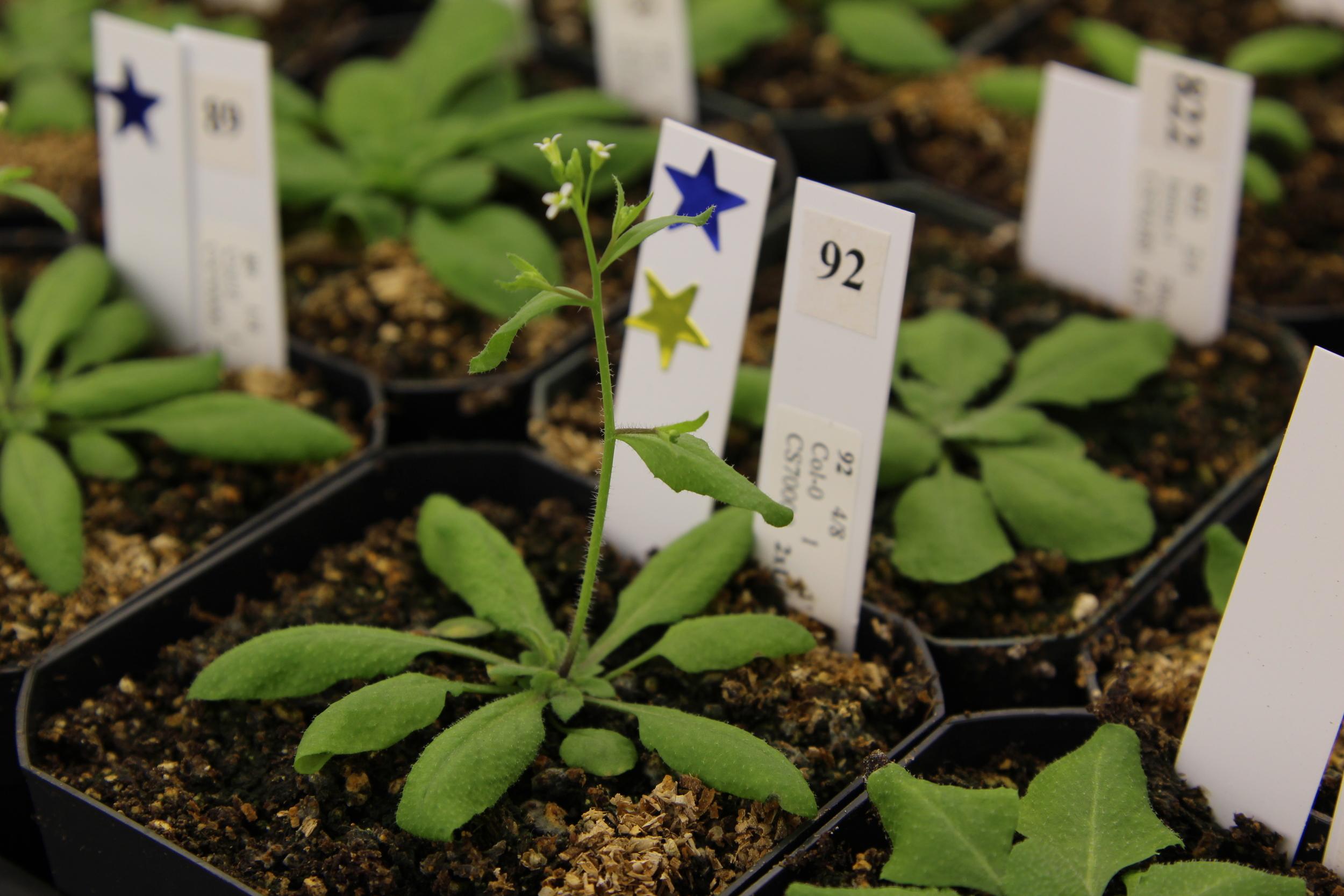 Flowing Arabidopsis
