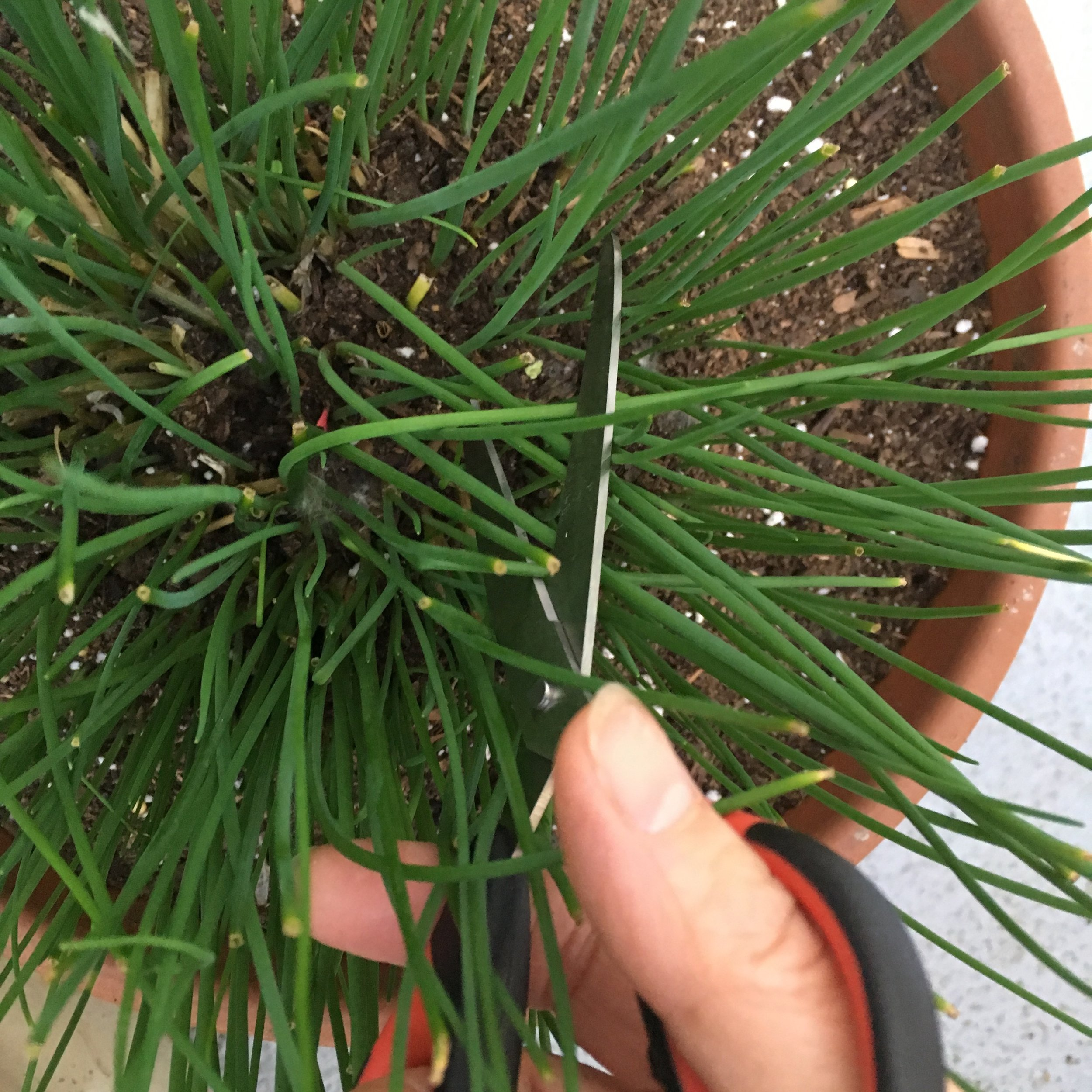 As a garden photographer for many years, I selected images that could highlight information and help recognize each herb. I'd like to share this practical guide of observations and experience with other curious gardeners and cooks beginning to grow and use their own herbs.  The book you will have in your hands is a friendly start to growing and using their herbs.