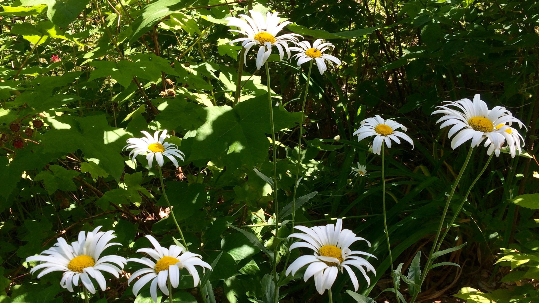 daisies-summer