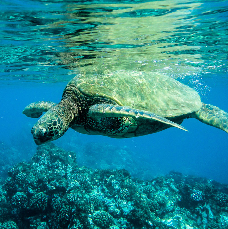 You can seriously swim with turtles on a trip to Molokini and Turtle Town.