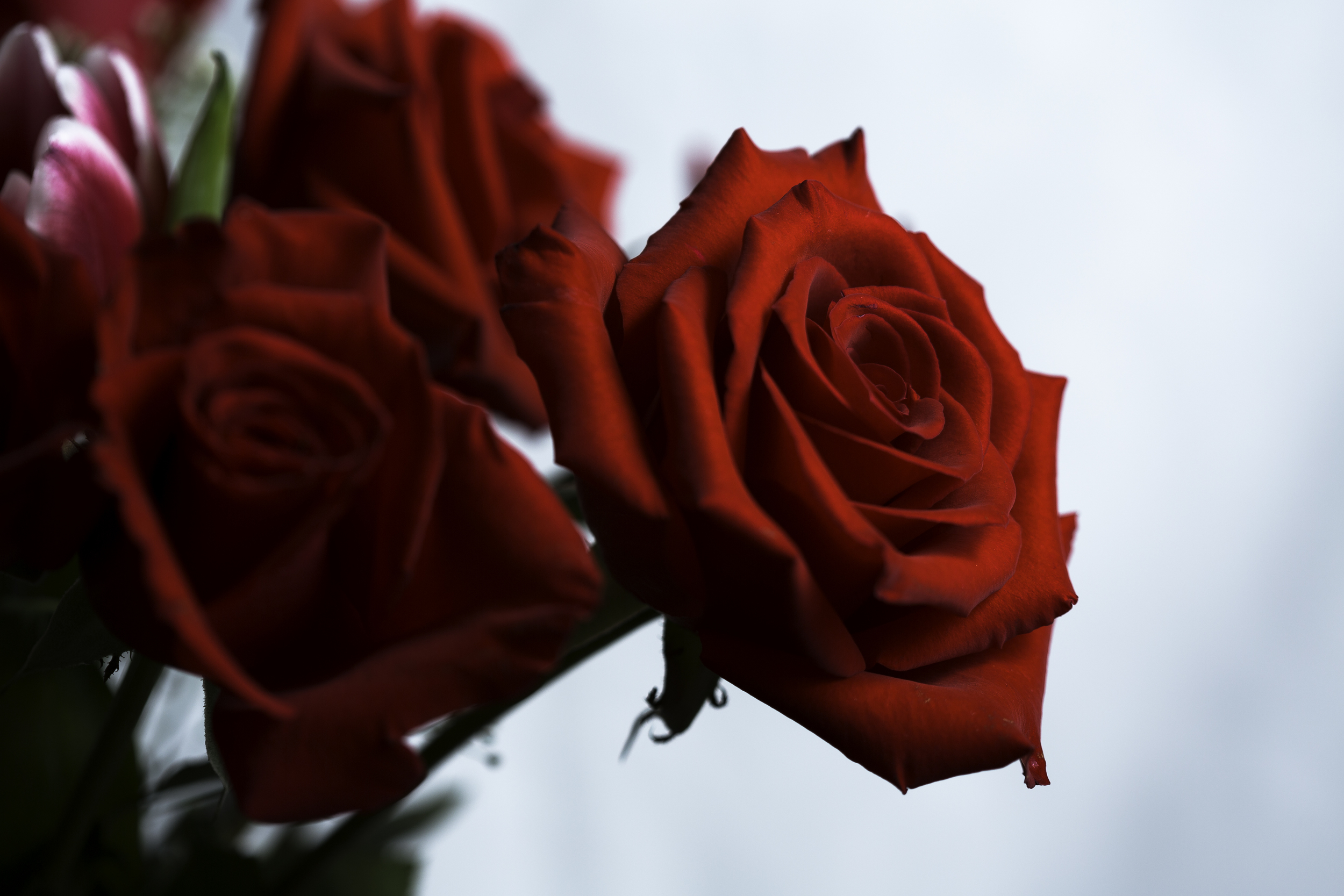 Red Rose (1 of 1).jpg