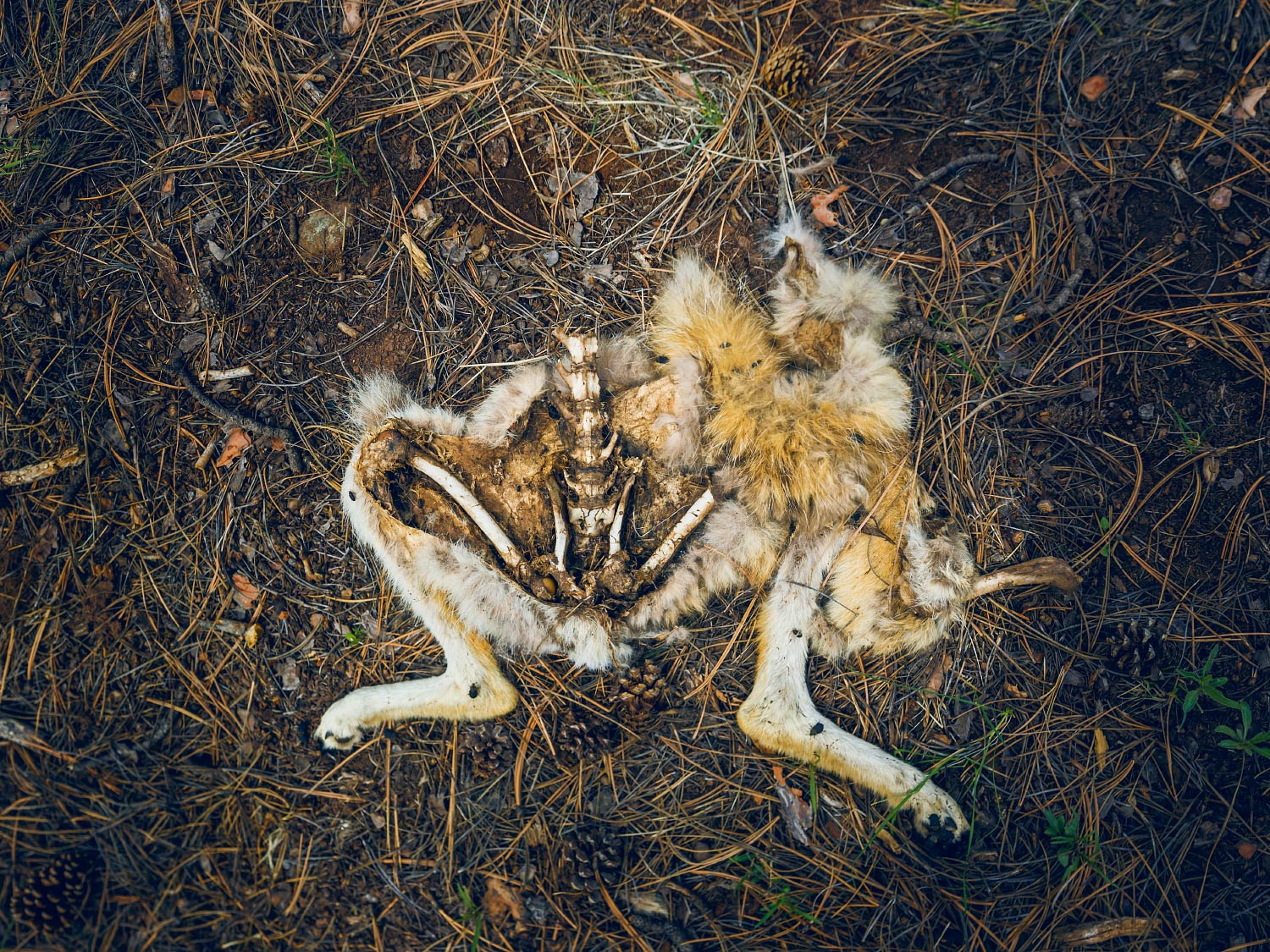 Dead coyote carcass