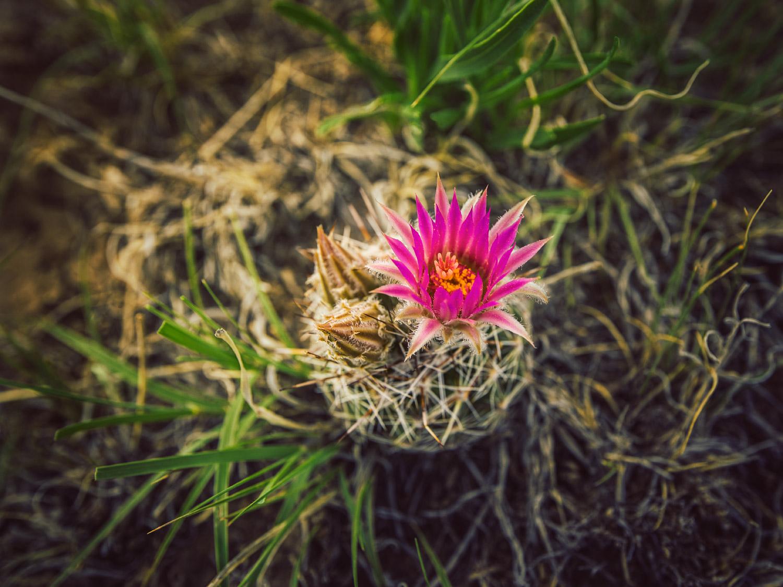 Fuschia cactus flower