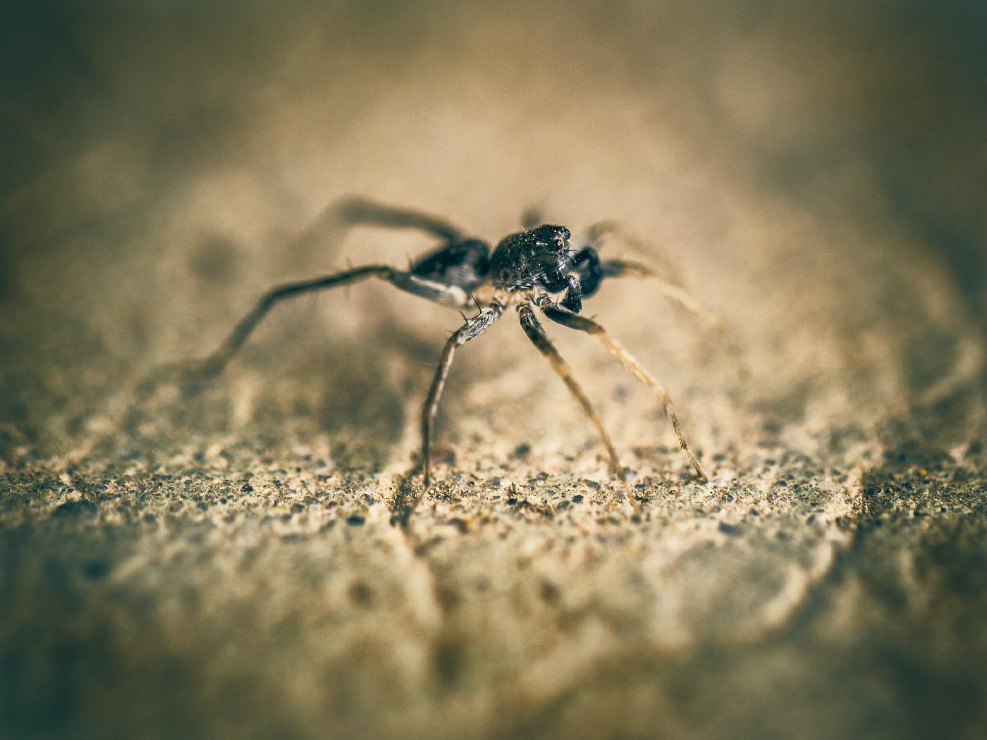 Zastrow skinny spider