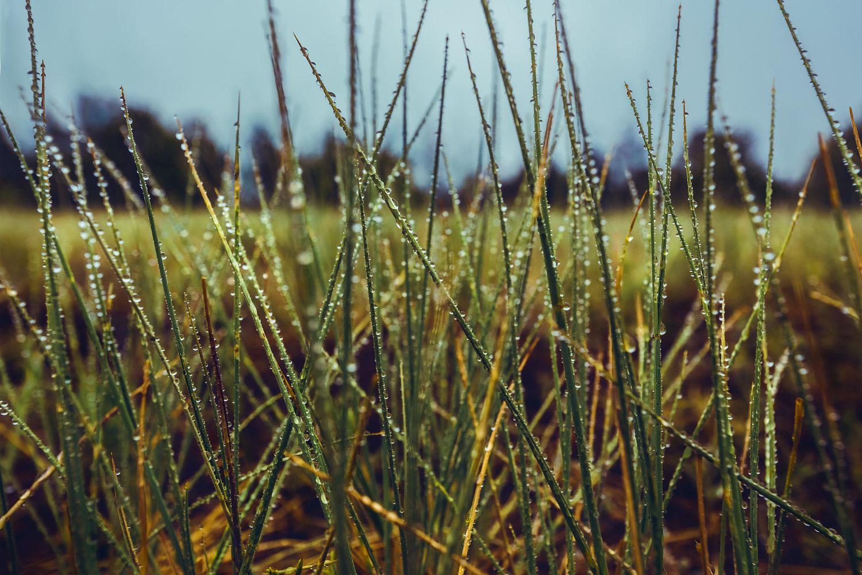 Zastrow dewy grass