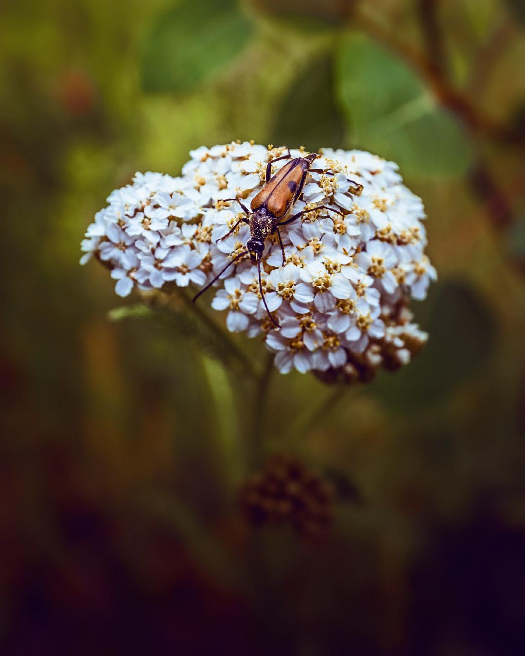 Yarrow flower beetle