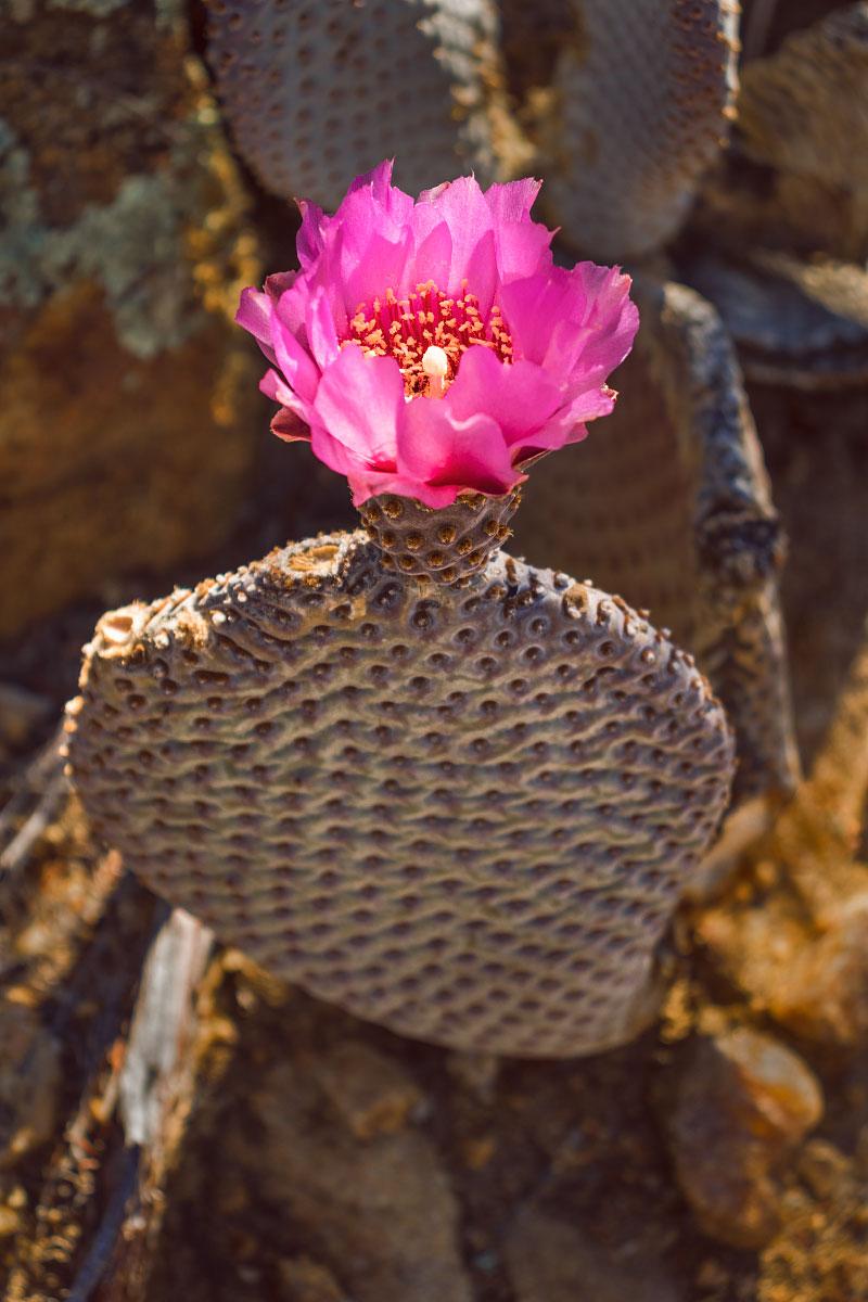 Beavertail pricklypear cactus.