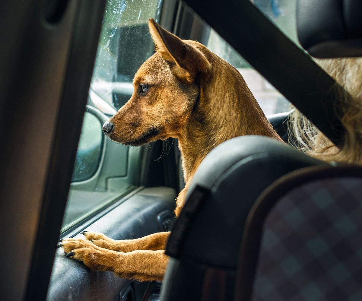 Dog goes for a ride, Big Bear, California.