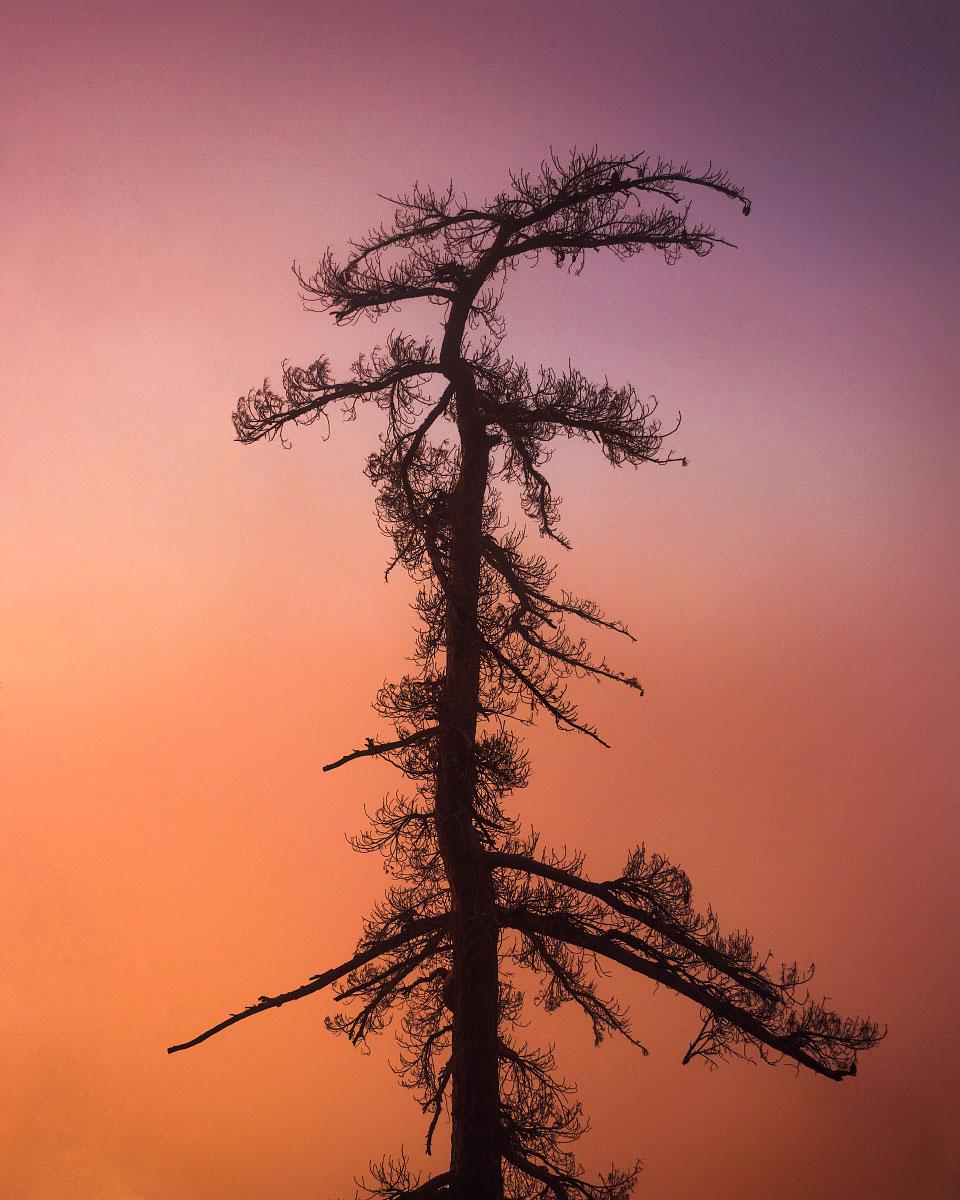 Pinus lambertiana , sugar pine, mile ~376.