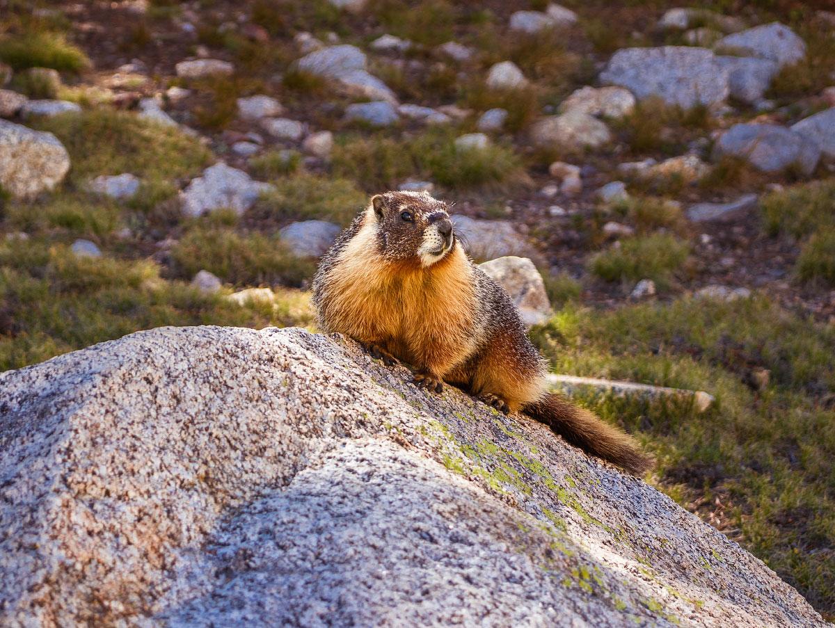 Marmota flaviventris , yellow-bellied marmot.