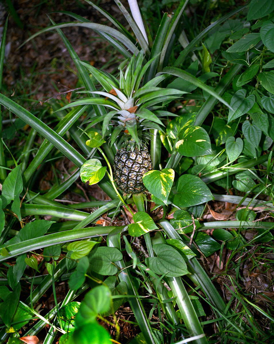 Green Pineapple  © Adrain Chesser