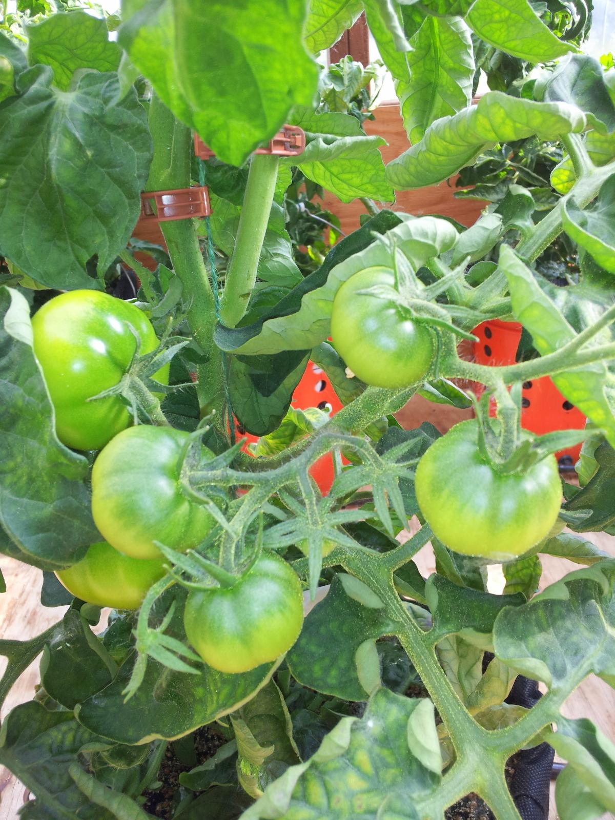 tomatoes 2 062214.jpg