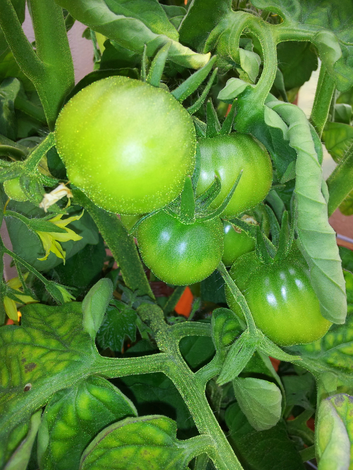 tomatoes 1 062214.jpg