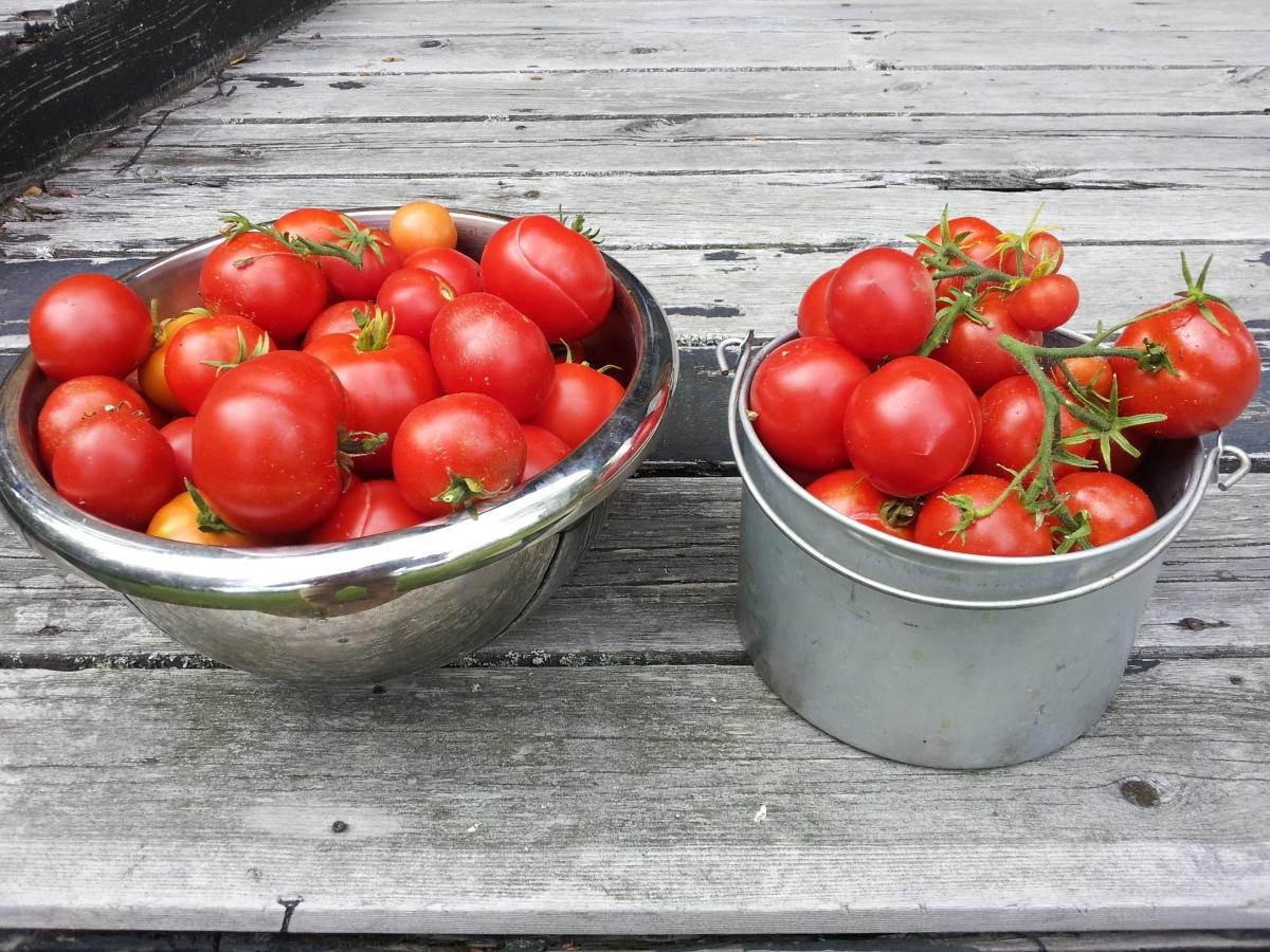 greenhouse tomatoes 081114.jpg