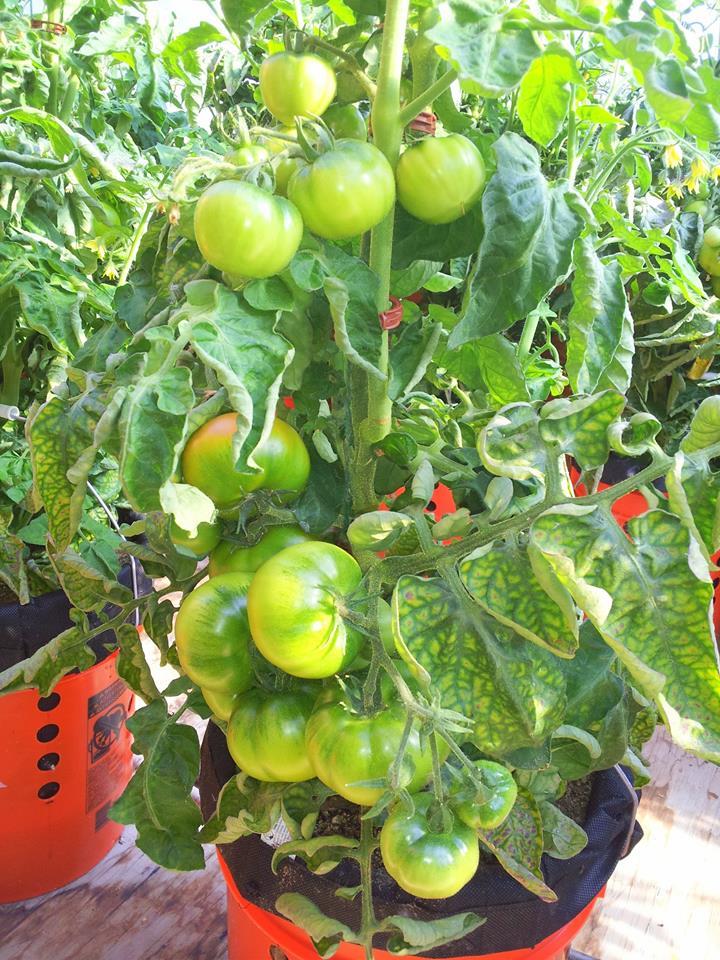 Extreme Bush Tomatos 2014.jpg