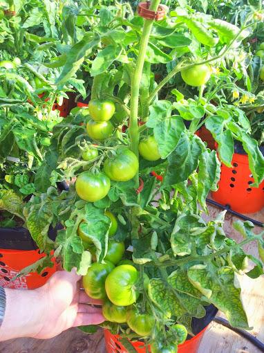 Tomato 1 071814.jpg