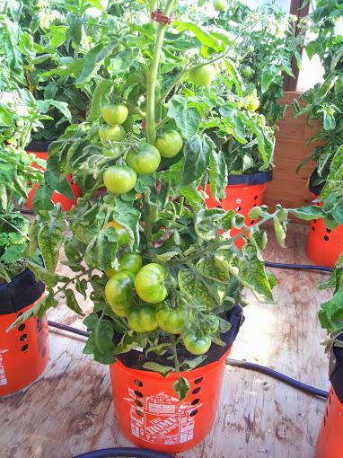 Tomato 6 071814.jpg