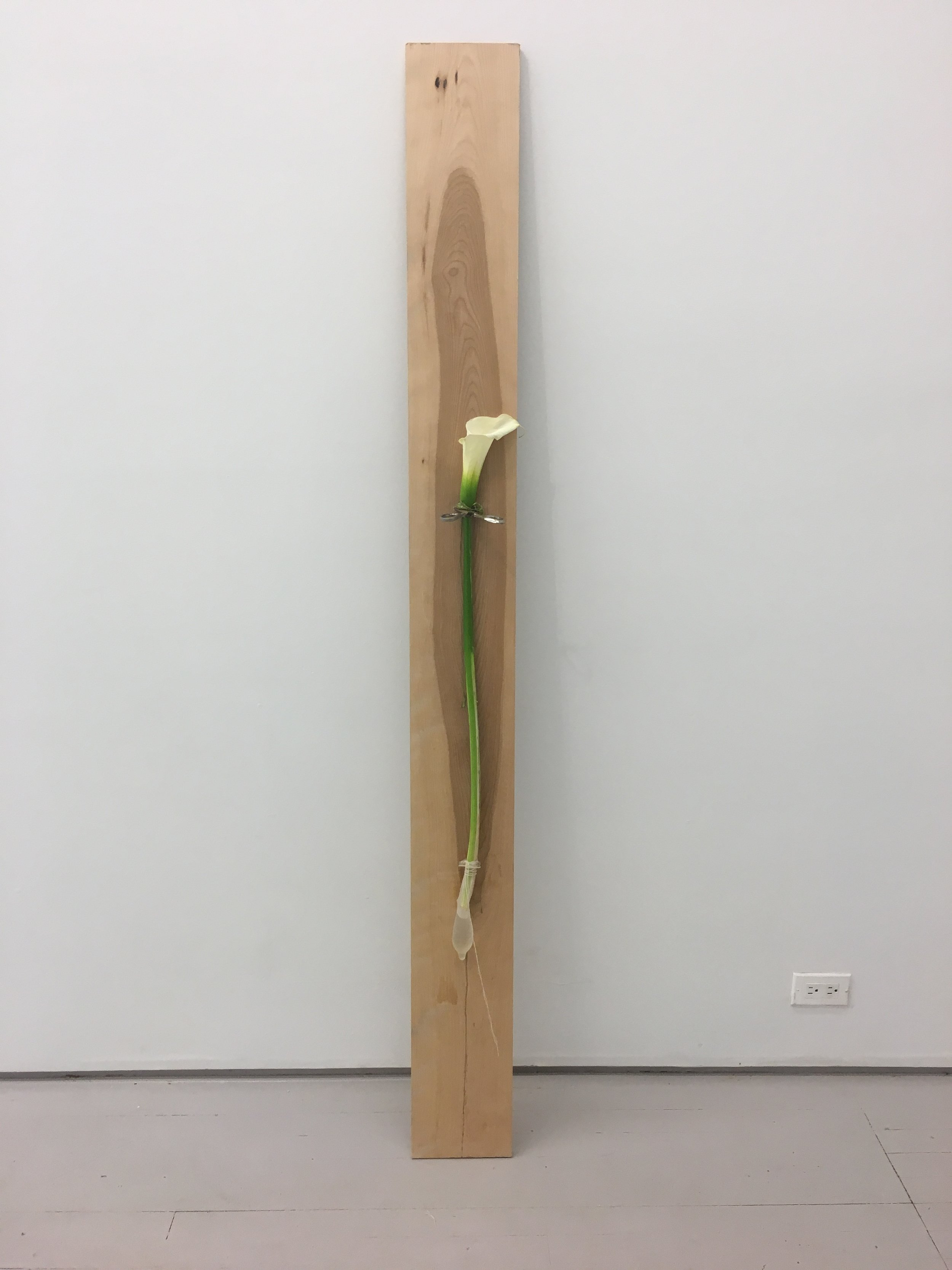 Camille Schefter. Loving the Scorpion, 2018. Birch plank, scissors, calla lily, condom, string