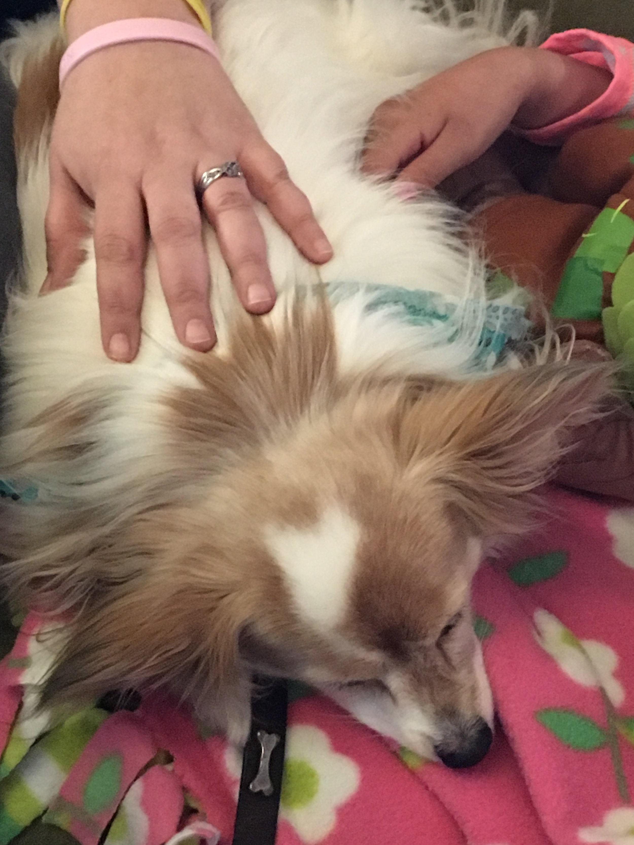 Therapy Dog Misty visiting with families at the Ronald McDonald House. Misty is a Papillon.
