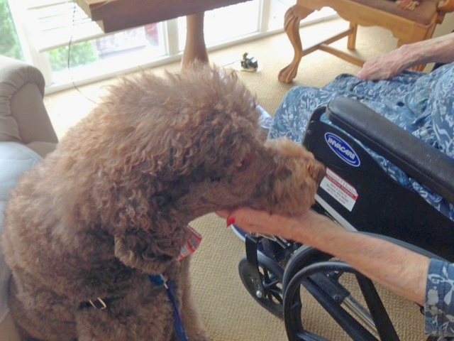Therapy dog Dudley visiting at an eldercare facility. Dudley is a Poodle.
