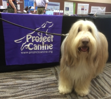 Therapy Dog Caber doing outreach at the Puget Sound Oncology Nursing Conference. Caber is a Bearded Collie.