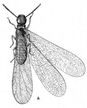 termite_swarmer_illustration.jpg