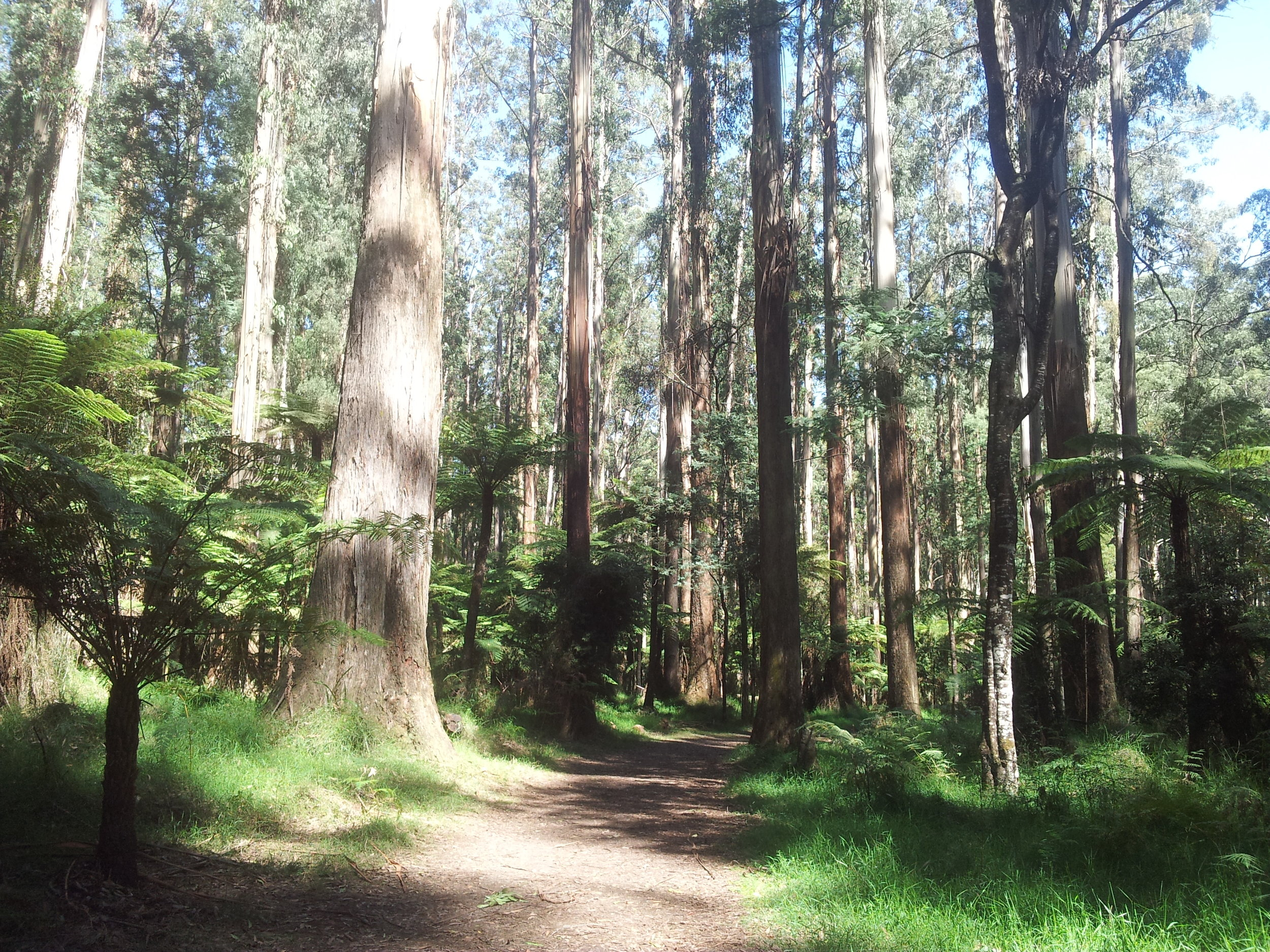 A relaxing walk in the majestic Eucalyptus and Fern Tree Forest